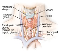 Illustration of the thyroid gland and its location as well as the parathyroid glands, voicebox (larynx), artery, vein, windpipe and laryngeal nerve.