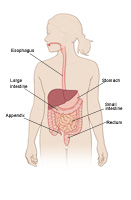 Adolescent digestive tract